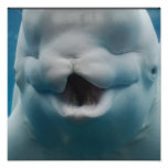 Funny Beluga Whale Poster