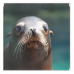 Sea Lion with Whiskers Acrylic Print