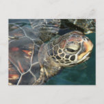 Swimming Turtle  Postcard
