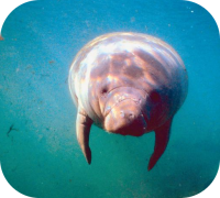 Manatee Picture